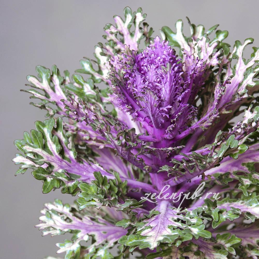 Брассика - цветы в Спб