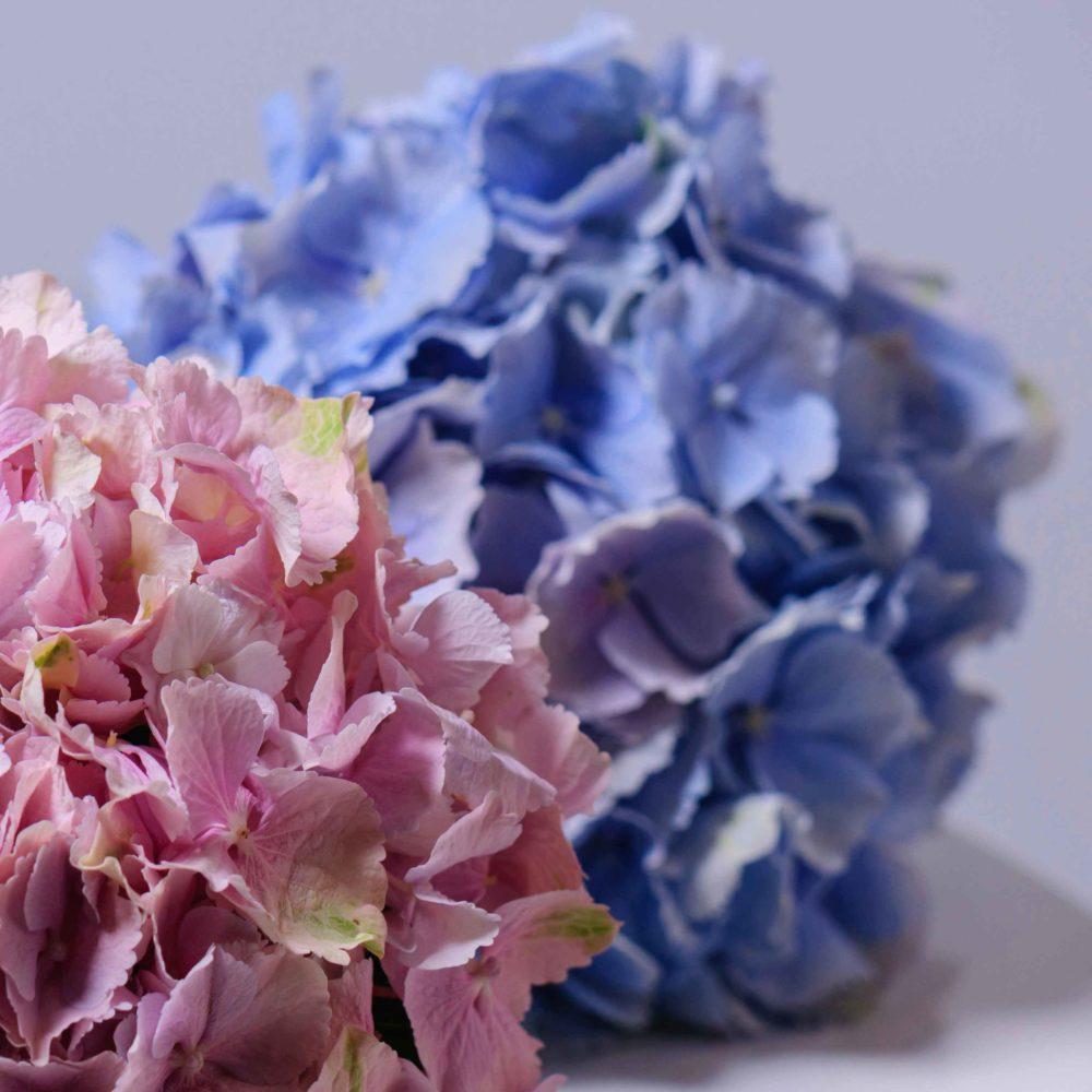 Гортензия голубая - цветы в Спб