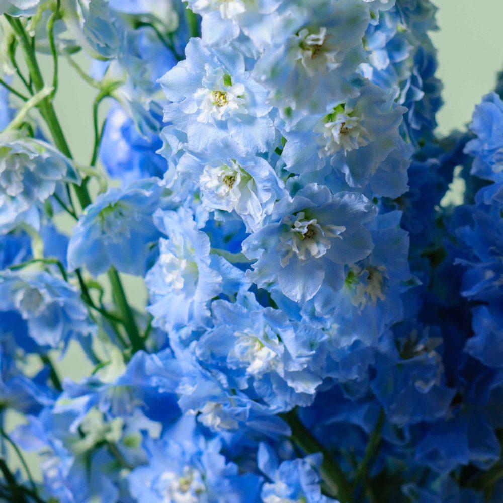 Дельфиниум - цветы в Спб
