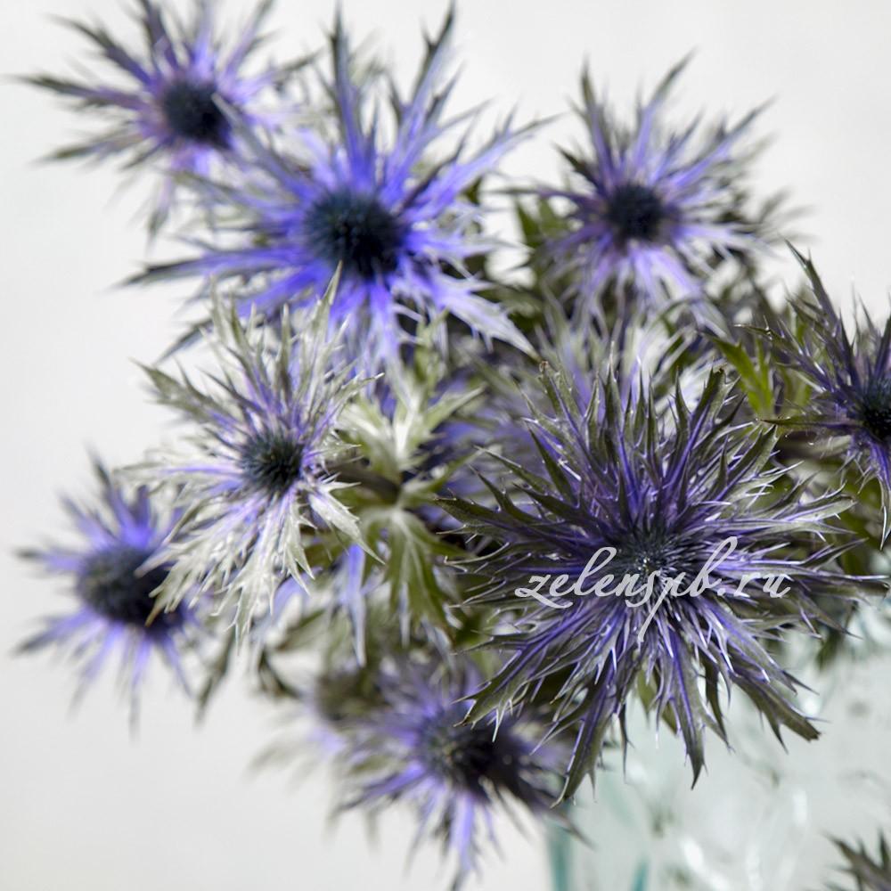 Эрингиум игольчатый - цветы в Спб
