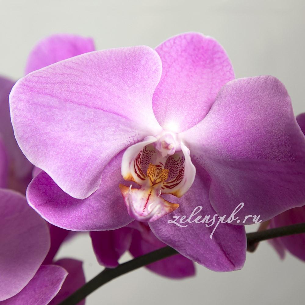 Орхидея Фаленопсис - цветы в Спб