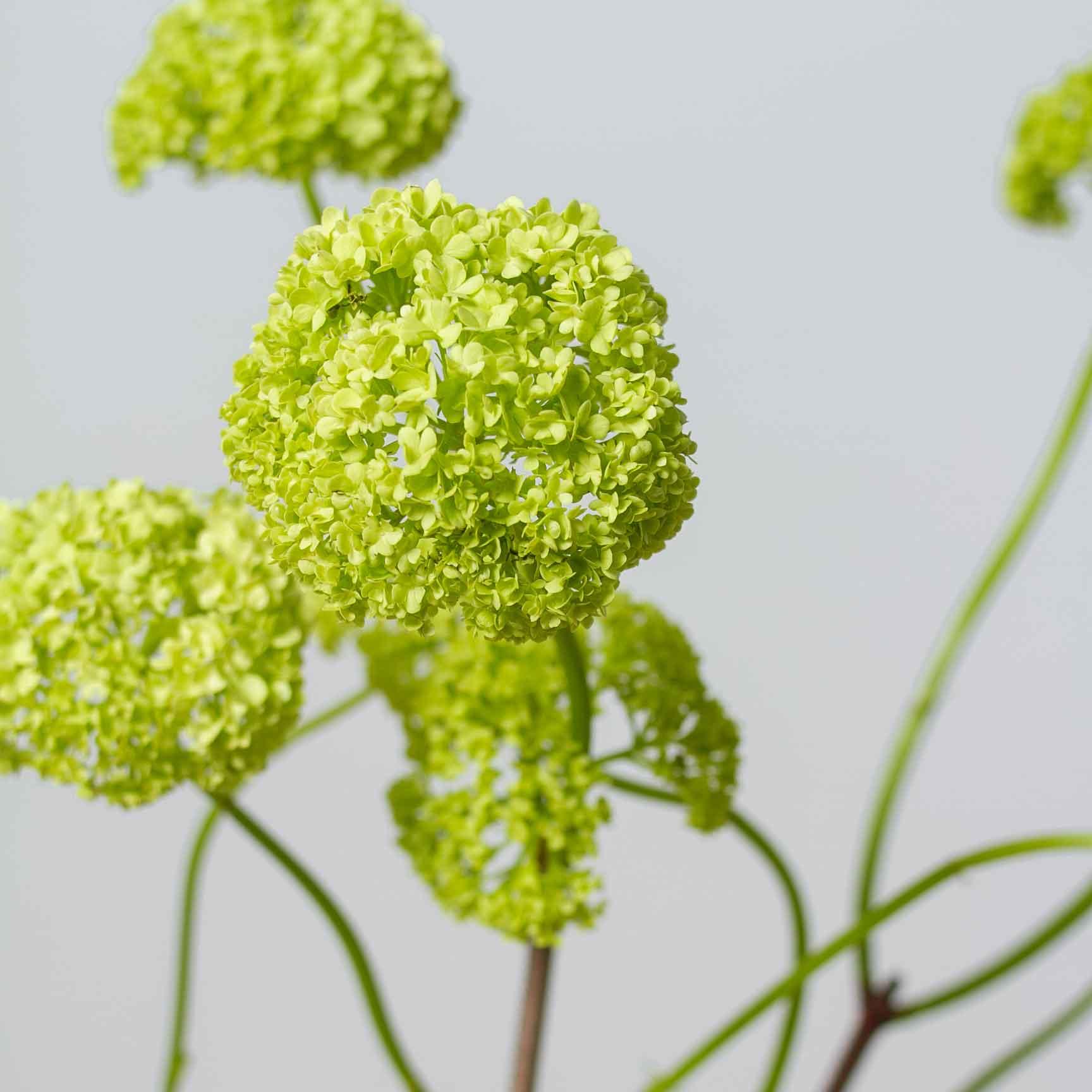 Вибурнум - цветы в Спб