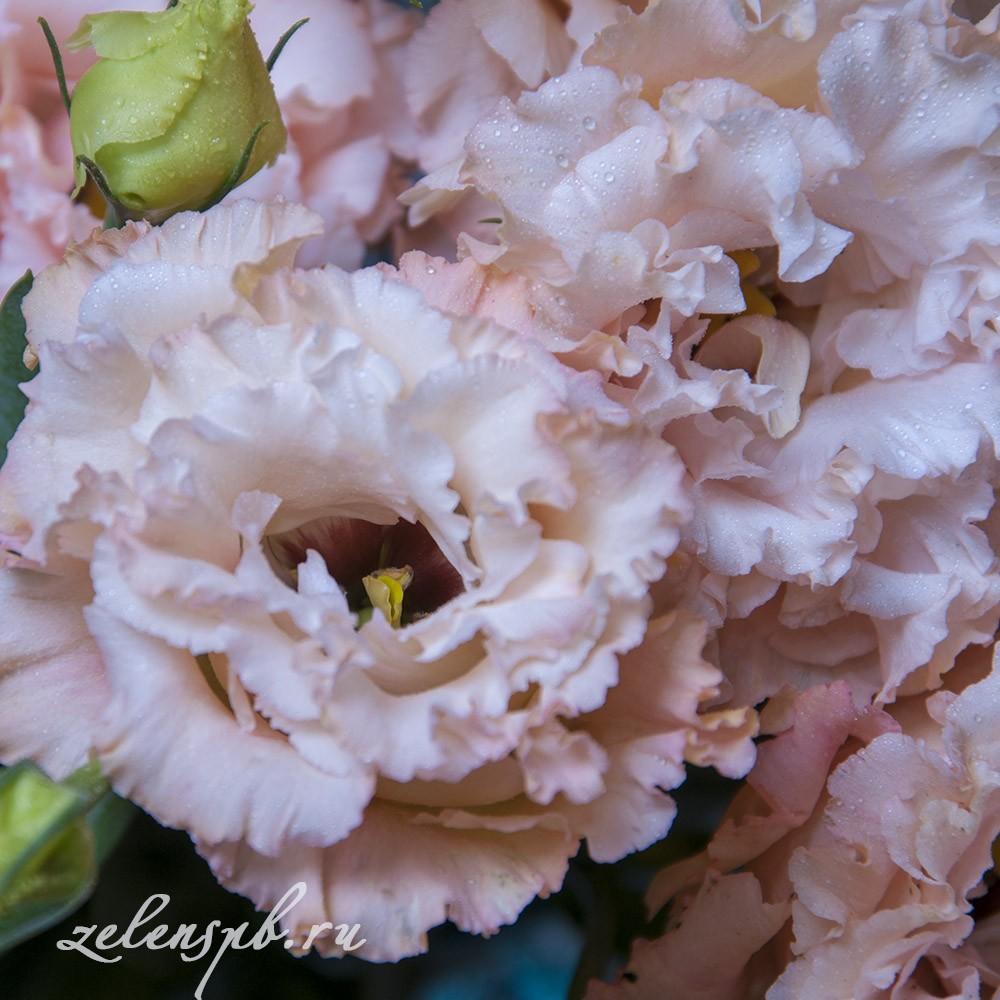 Лизиантус розовый - цветы в Спб