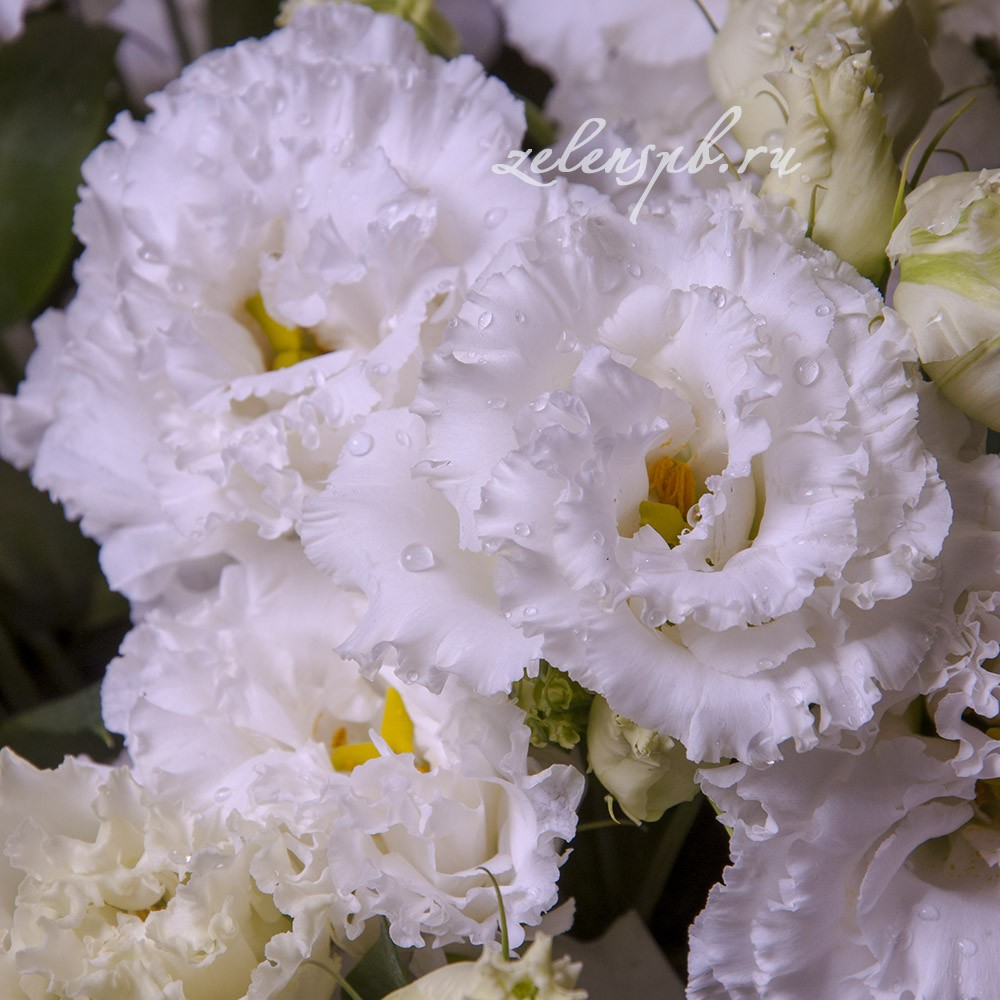 Лизиантус белый - цветы в Спб