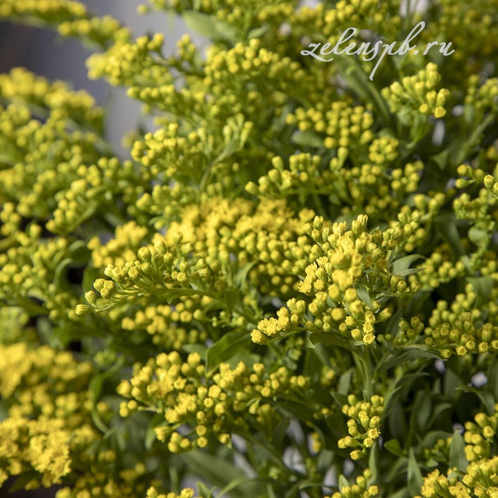 Солидаго - цветы в Спб
