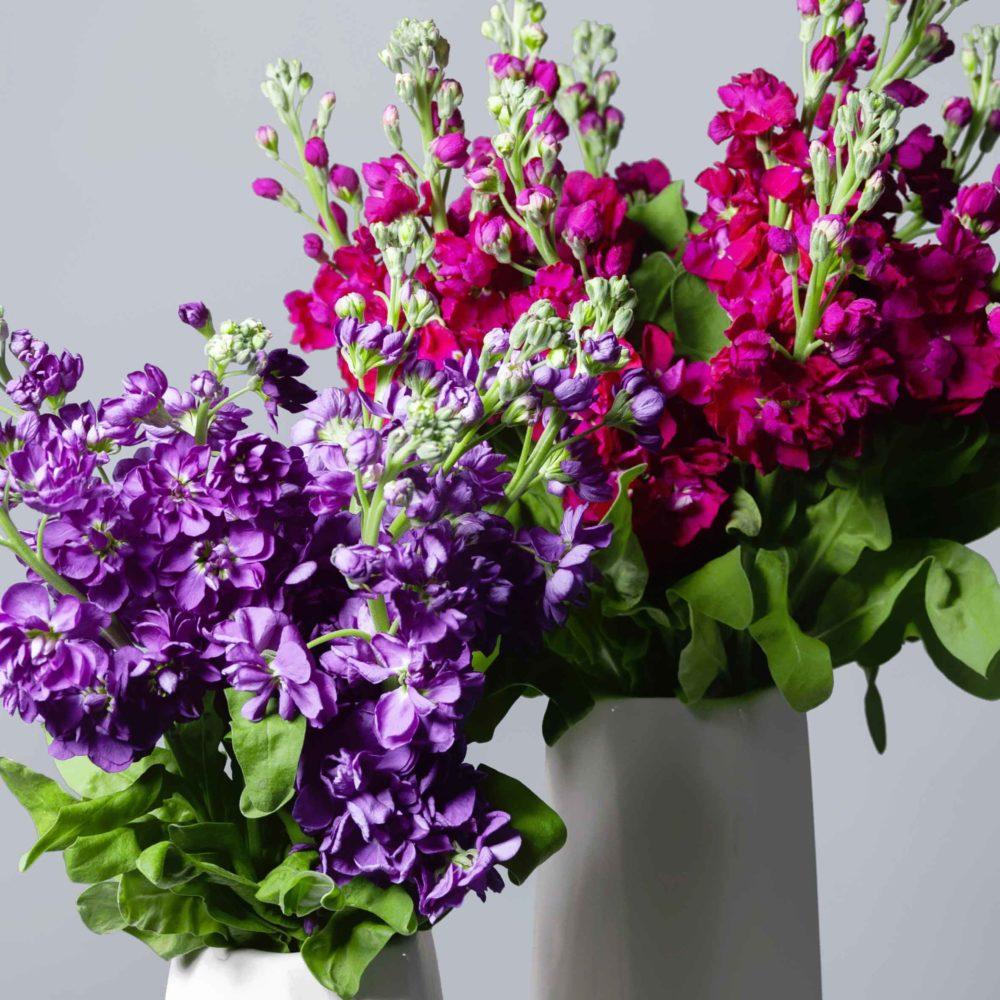 Маттиола - цветы в Спб