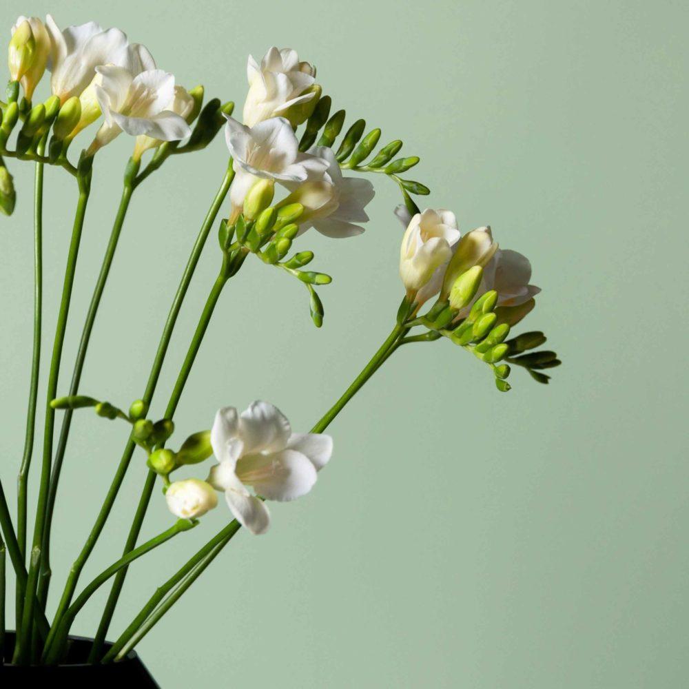 Фрезия белая - цветы в Спб