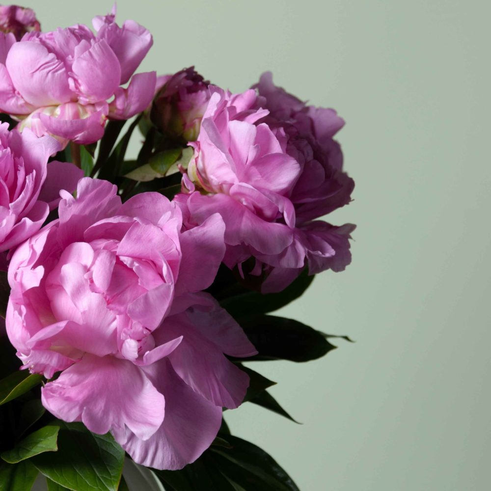 Пион ярко-розовый - цветы в Спб