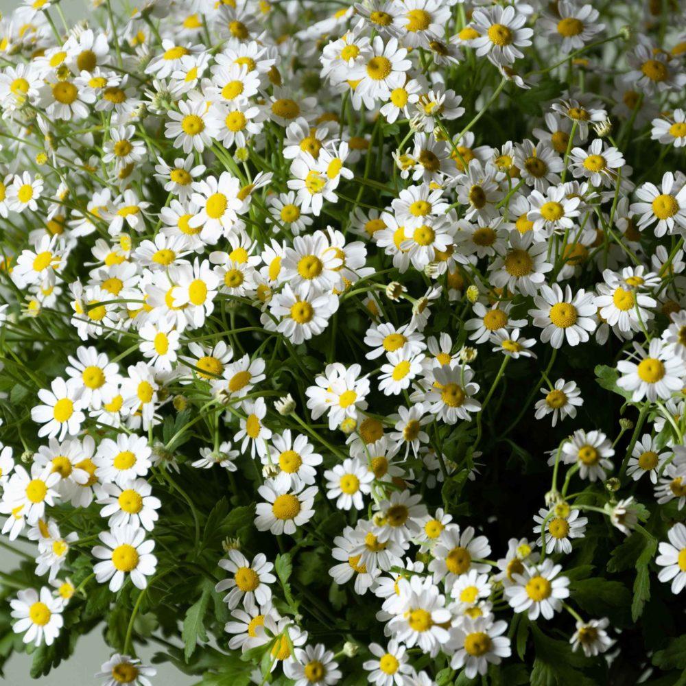 Матрикария - цветы в Спб