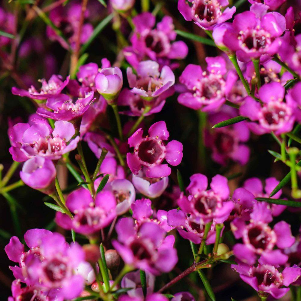 Монобукет из ваксфлауэра №4 - цветы в Спб