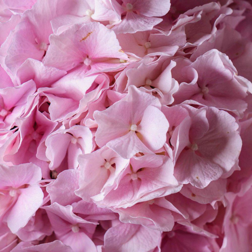 Монобукет из гортензий №2 - цветы в Спб