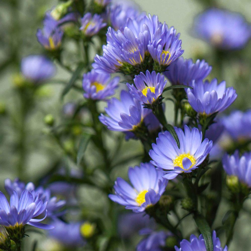 Астра кустовая - цветы в Спб