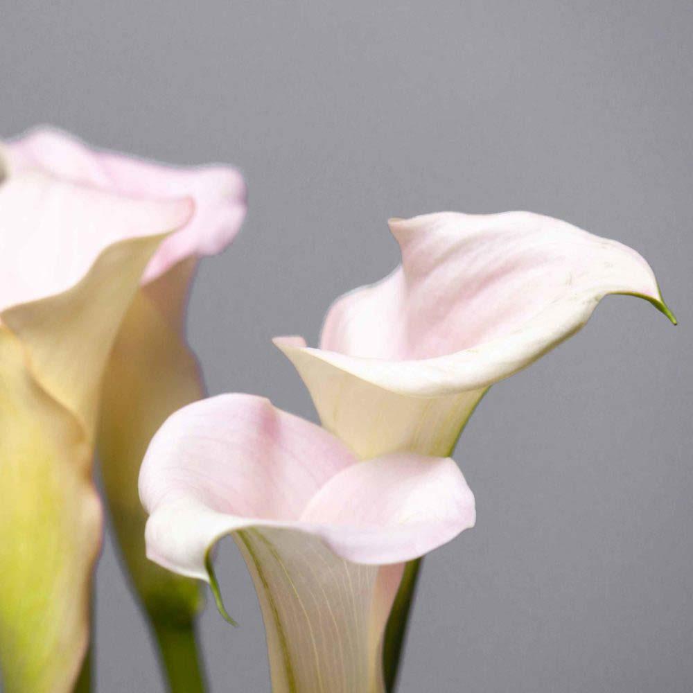 Калла бело-розовая - цветы в Спб