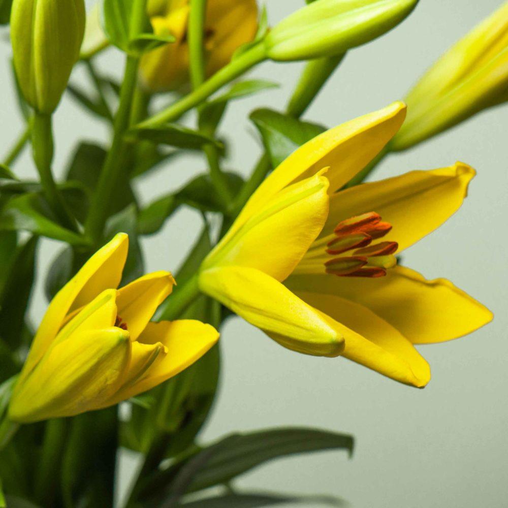 Лилия жёлтая - цветы в Спб