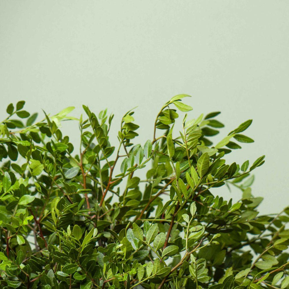 Фисташка - цветы в Спб