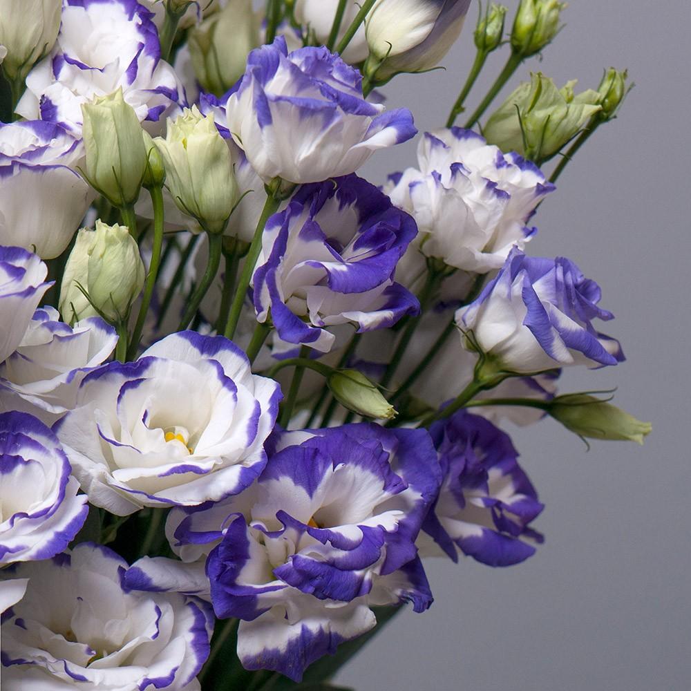 Лизиантус фиолетово-белый - цветы в Спб