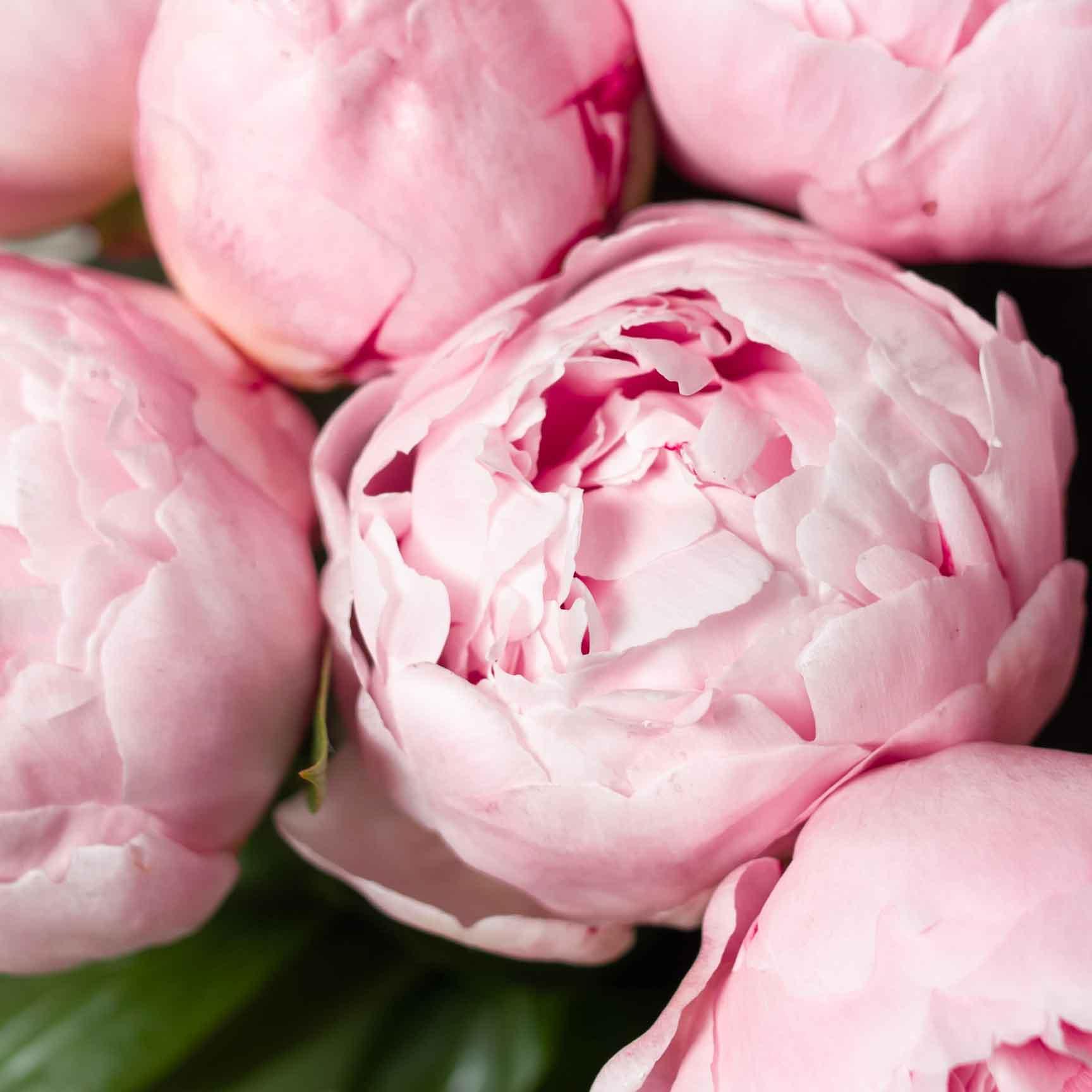 Пион нежно-розовый - цветы в Спб