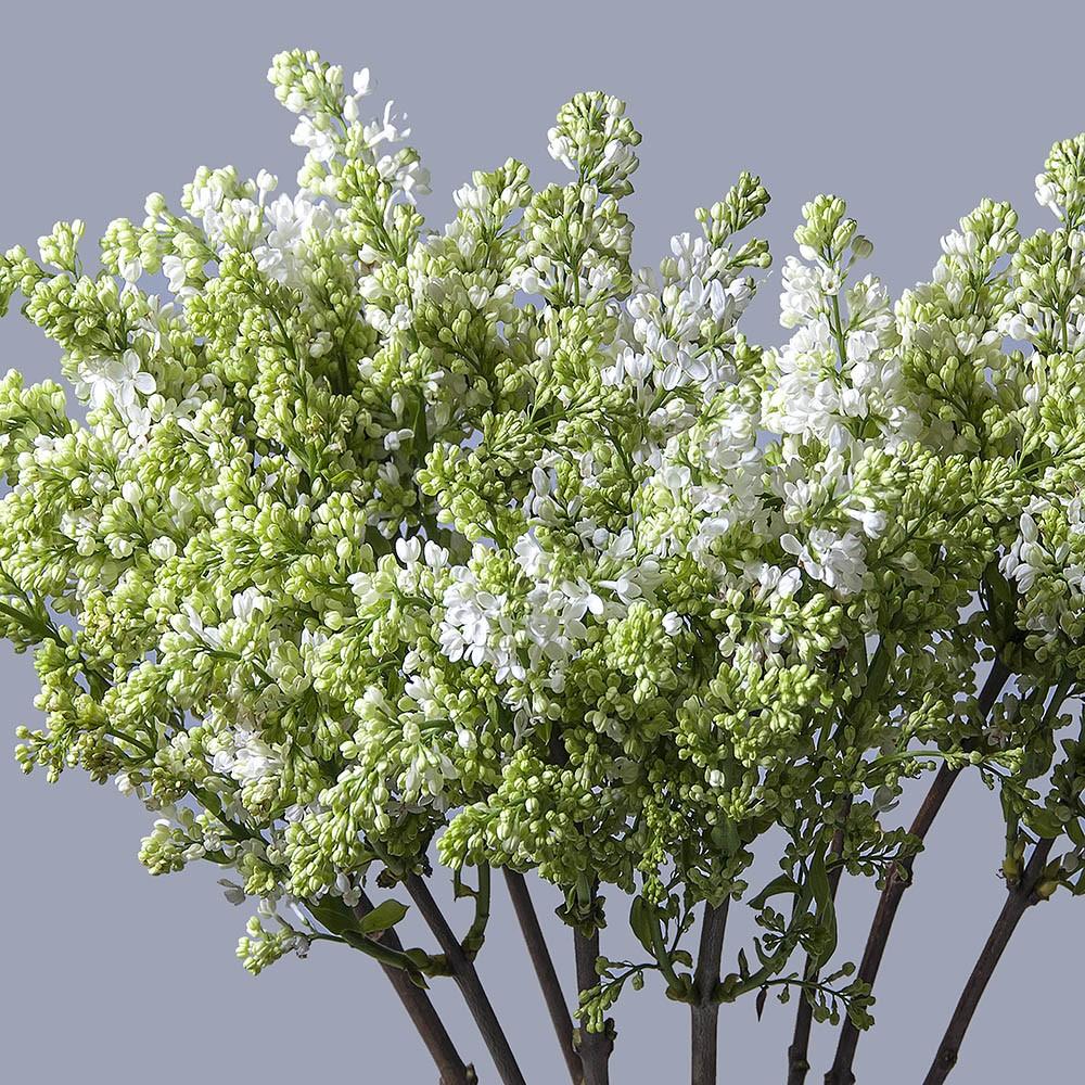 Сирень белая - цветы в Спб