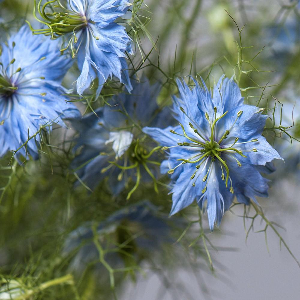 Нигелла - цветы в Спб