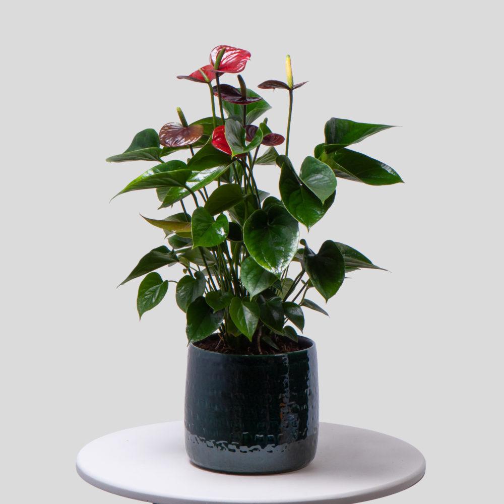 Антуриум - купить цветы в Санкт Петербурге
