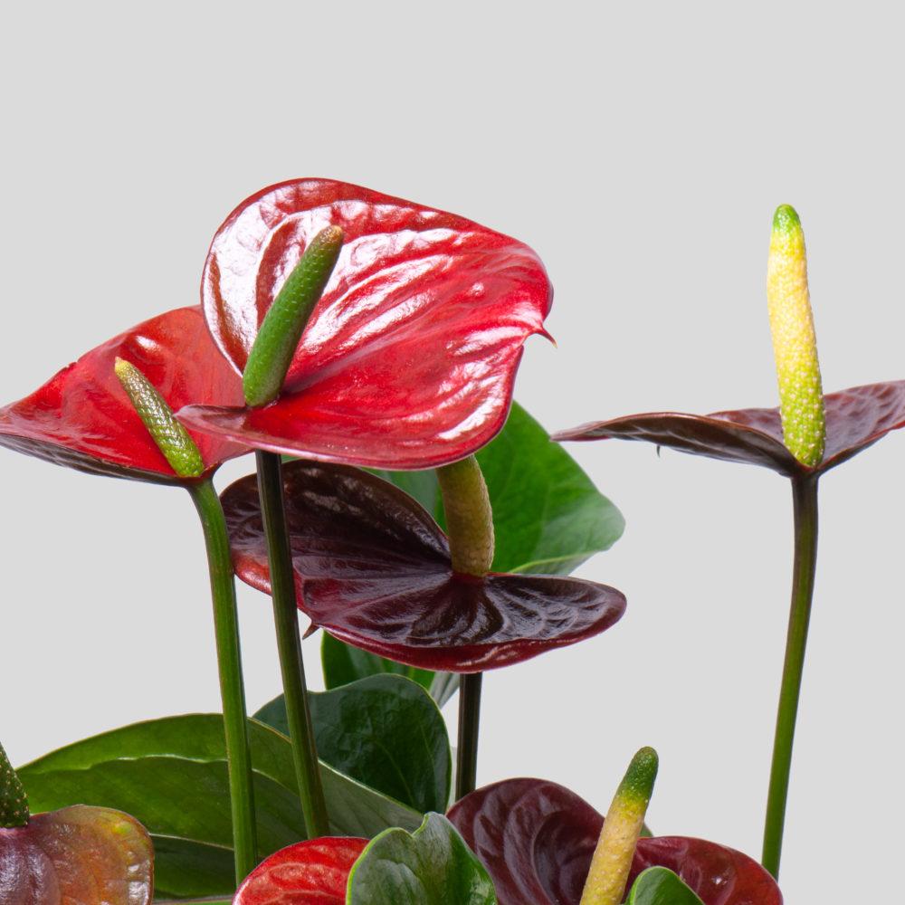 Антуриум - цветы в Спб