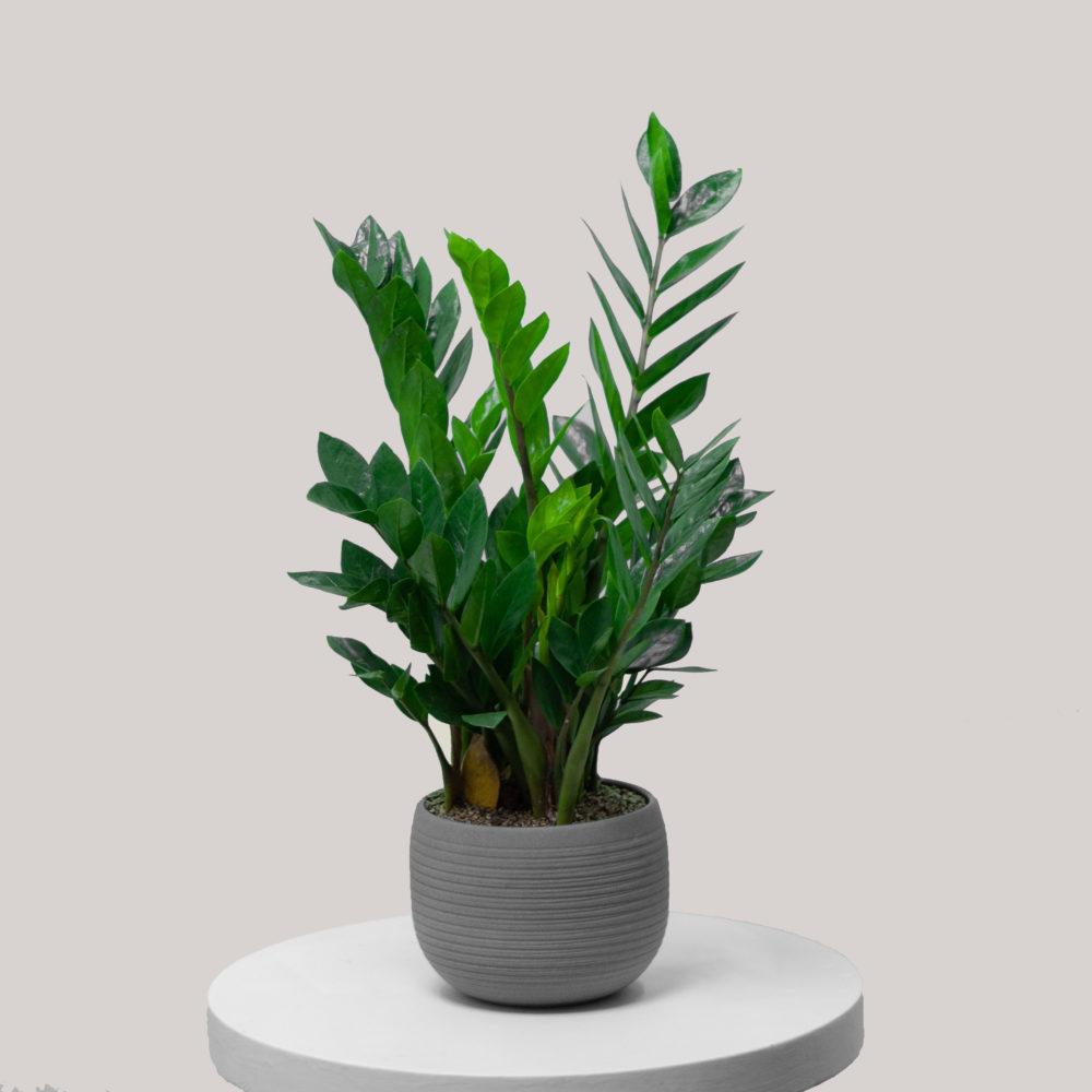 Комнатное растение Замиокулькас - купить цветы в Санкт Петербурге